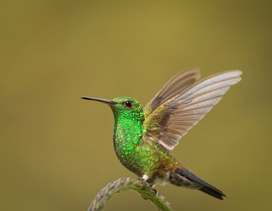 Steely-Vented Hummingbird, by Phyllis
