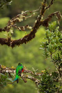 Male Resplendent Quetzal, by Phyllis
