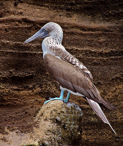 gal06: blue-footed booby