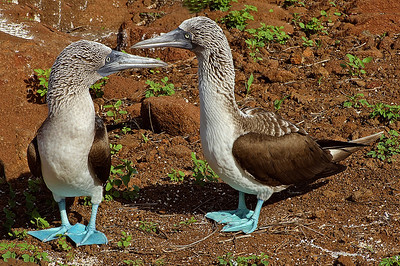 gal01: blue-footed boobies
