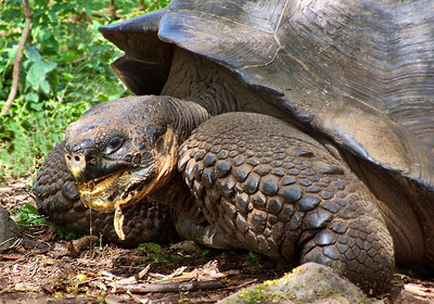 glc12: Galapagos tortoise on Santa Cruz Island