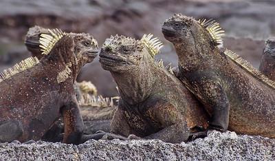 glc03: marine iguanas
