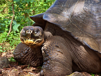 glc13: Galapagos tortoise on Santa Cruz Island