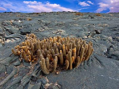 glc17:  lava cactus on Genovesa Island