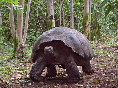 glc10: Galapagos tortoise on Santa Cruz Island
