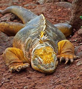glc08: land iguana