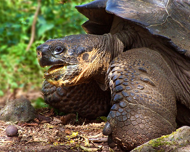 glc15: Galapagos tortoise on Santa Cruz Island