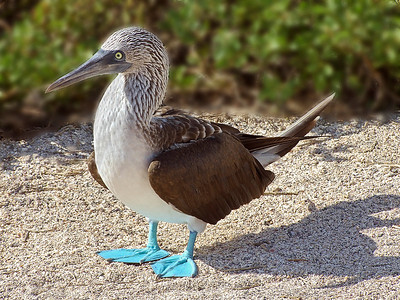 gal02: blue-footed booby