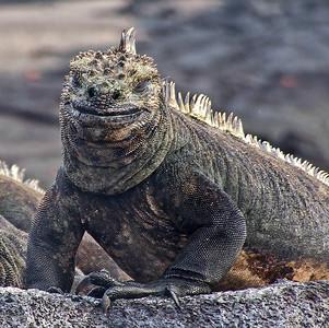 glco5: marine iguana