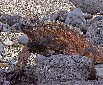 glc04: marine iguana