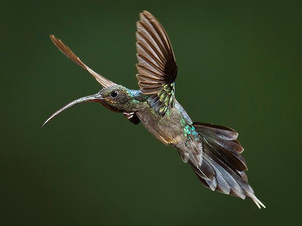 Green Hermit Hummingbird Portfolio