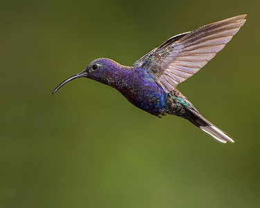 Violet sabrewing hummingbird.