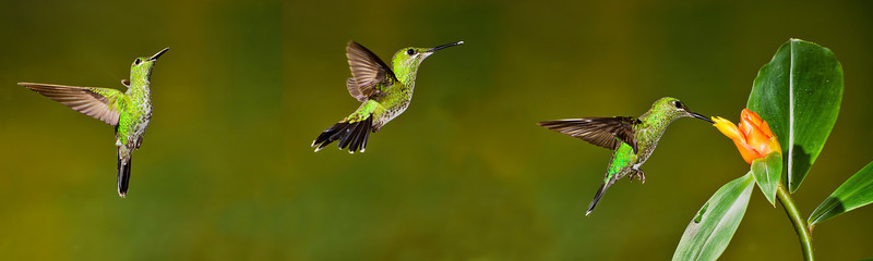 Bill created this action sequence panorama of the same female green brilliant hummingbird approaching and feeding at a flower at Bosque de Paz.