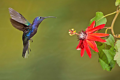 A violet sabrewing hummingbird on approach at Bosque de Paz.