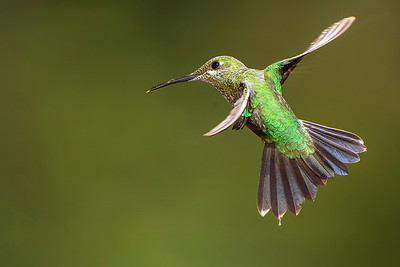 Green brilliant hummingbird.