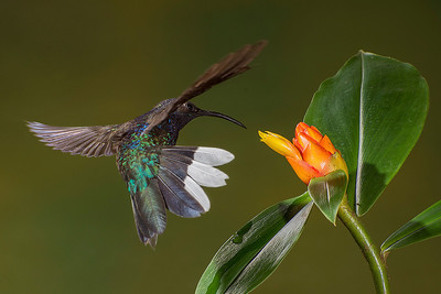 Bill captured this violet sabrewing hummingbird in flight as it approached a flower at Bosque de Paz.