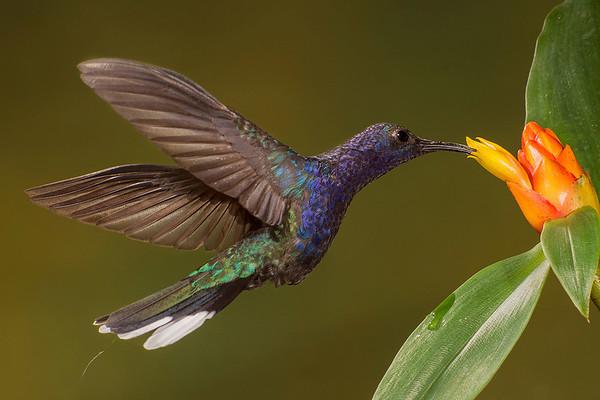 Hummingbirds at Bosque de Paz, Costa Rica