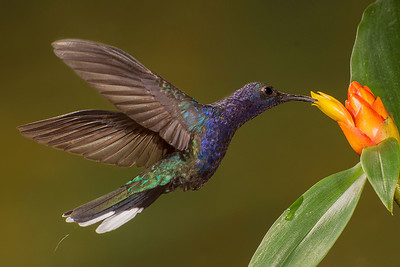 Phyllis captured this violet sabrewing hummingbird feeding at Bosque de Paz.