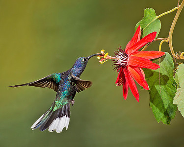 A violet sabrewing hummingbird feeding at Bosque de Paz