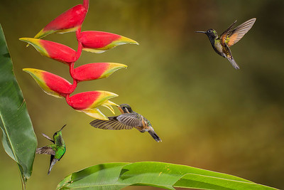 Green brilliant, Mountain gem and Black-bellied