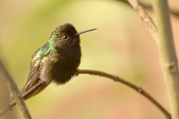 Hummingbirds at Catarata Del Toro, Costa Rica
