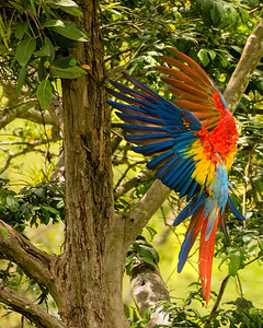Scarlet macaw just before landing in a tree with beautiful spread of wings and feathers, while head is tucked down and out of sight, by Phyllis