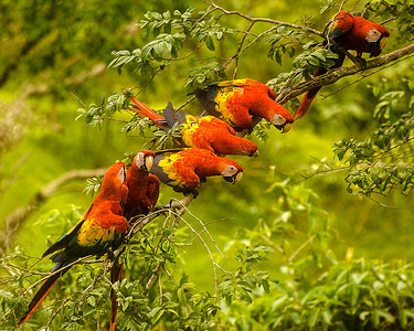 Phyllis took this image of these endangered Scarlet macaws in a beautiful diagonal line on a branch before they flew to another tree.  They seem to be discussing the day's agenda or who will fly off the branch first!