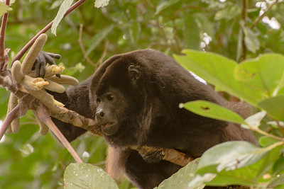 Phyllis saw this howler monkey near the Catarata Del Toro Waterfalls.  This monkey was completely focused on finding and eating food!