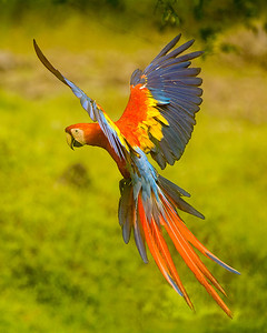 This Scarlet macaw was in flight just before it landed in a tree.  The beautiful pose and spread of the wings was not easy for Phyllis to capture.