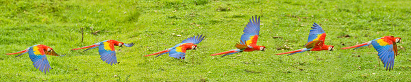 Phyllis captured 6 consecutive images of this one Scarlet macaw in flight and then stitched them together to create this action sequence panorama.