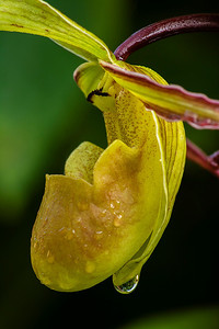 Ladyslipper orchid in the cloud forest at peaceful Bosque de Paz, by Bill.