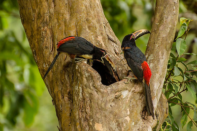 Bill took this photograph of amazing Collared aracaris ( a species of toucan) just before they flew quickly away and out of sight.