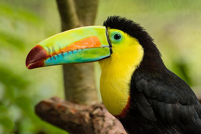 The Keel-billed toucan was one of Bill's favorites!