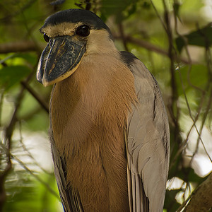 This gentle looking Boat-billed heron was photographed from a moving boat by Phyllis in Parque Nacional Tortuguero. .