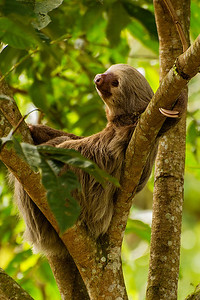 Bill moved in every direction around this tree until he found the perfect spot to capture this shyTwo-toed sloth.