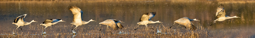 Phyllis created this action sequence panorama of a sandhill crane on its morning takeoff
