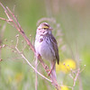 Savannah Sparrow in the field on Rootstown Rd.