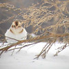 Snow Bunting at the corner of Diagonal Rd. and Frost Rd., Mantua