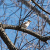 Leucistic robin, Twin Lakes on the southern half of West Blvd.  March / April 2015.