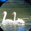 2 or 3 cygnets are on the back of the rear swan