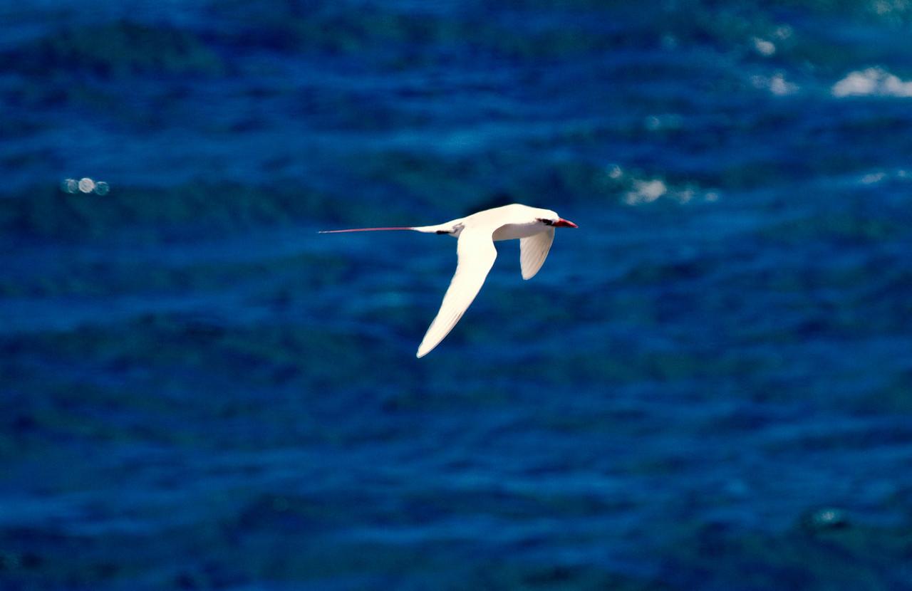 Red-tailed Tropicbird,  Kauai, HI