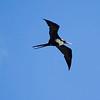 Great Frigit Bird,  Kauai, HI