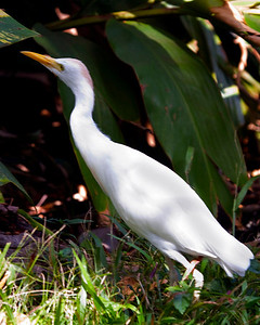Cattle Egret Cattle brown breeding plumage, Kauai, HI