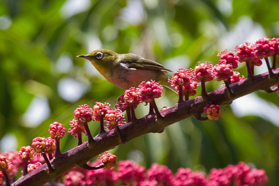 Japanese White-eye,  Kauai, HI