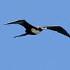 Great Frigatebird,  Kauai, HI
