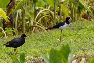 Stilt and Moorehen share wetlands,  Kauai, HI
