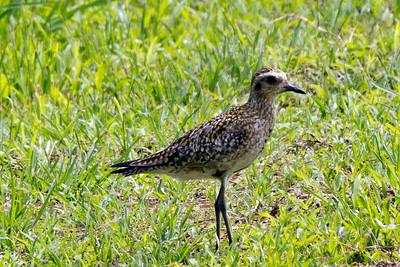 Pacific Golden-Plover,  Kauai, HI The Plover appear to like the marsh area of the Taro fields