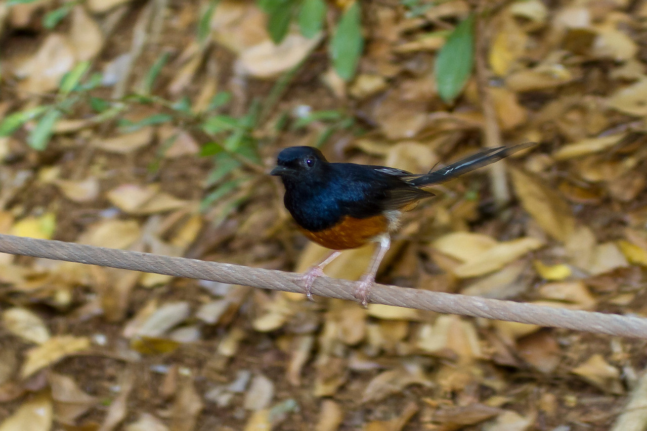 White-rumped Shama,  Kauai, HI. Had a hard time getting a good shot in the Jungle, but in the parking lot at the airport it was a lot easier.