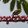Japanese White-eye,  Kauai, HI