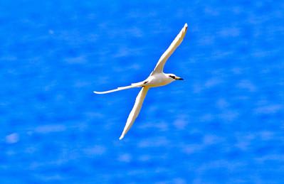 White tailed Tropicbird,  Kauai, HI